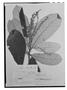 Field Museum photo negatives collection; Genève specimen of Clethra schlechtendalii Briq., MEXICO, C. J. W. Schiede 173, Type [status unknown], G