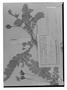 Field Museum photo negatives collection; Genève specimen of Biophytum globuliferum R. Knuth, PERU, G. Tessmann 3886, Type [status unknown], G