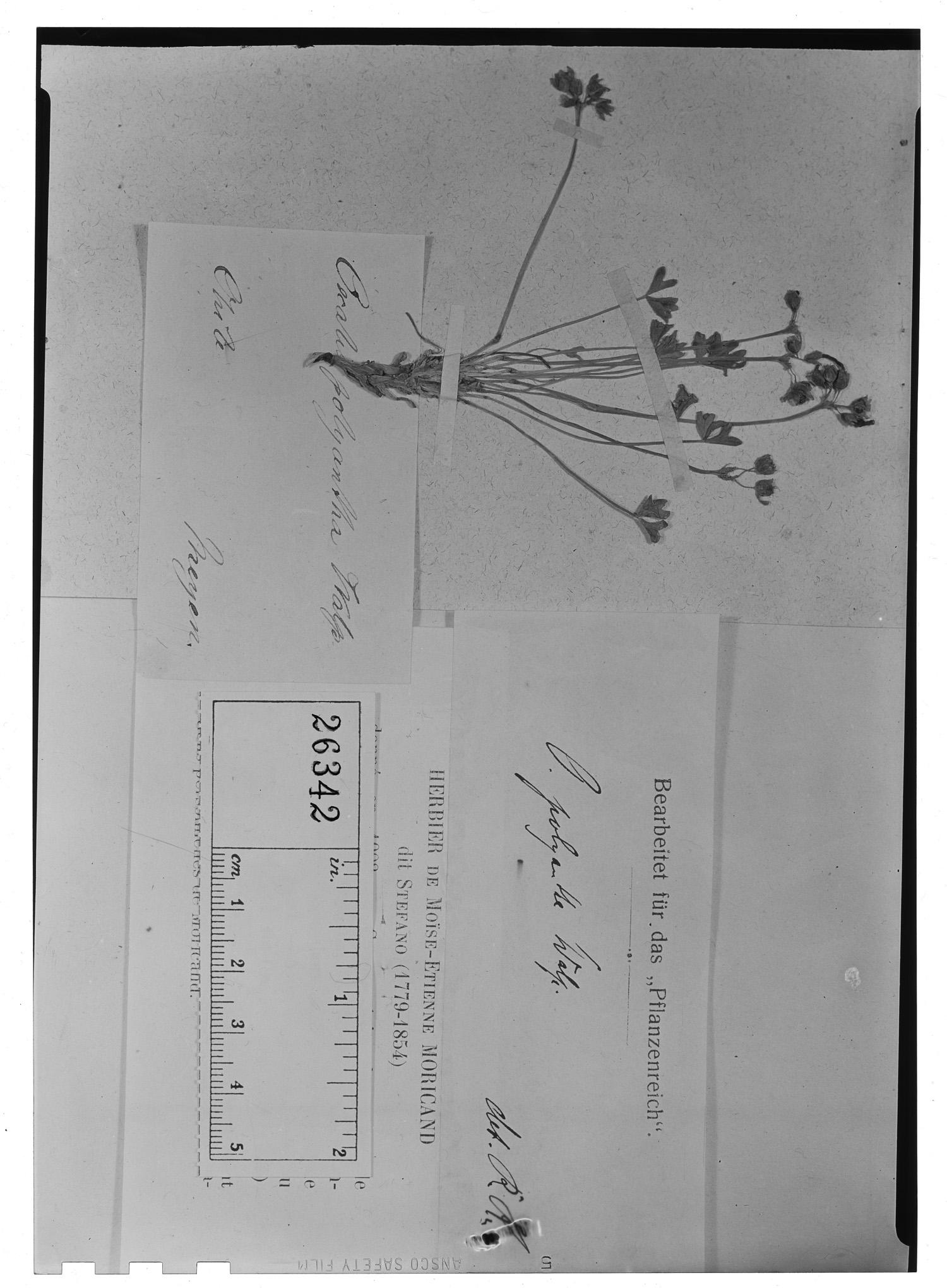 Oxalis polyantha image