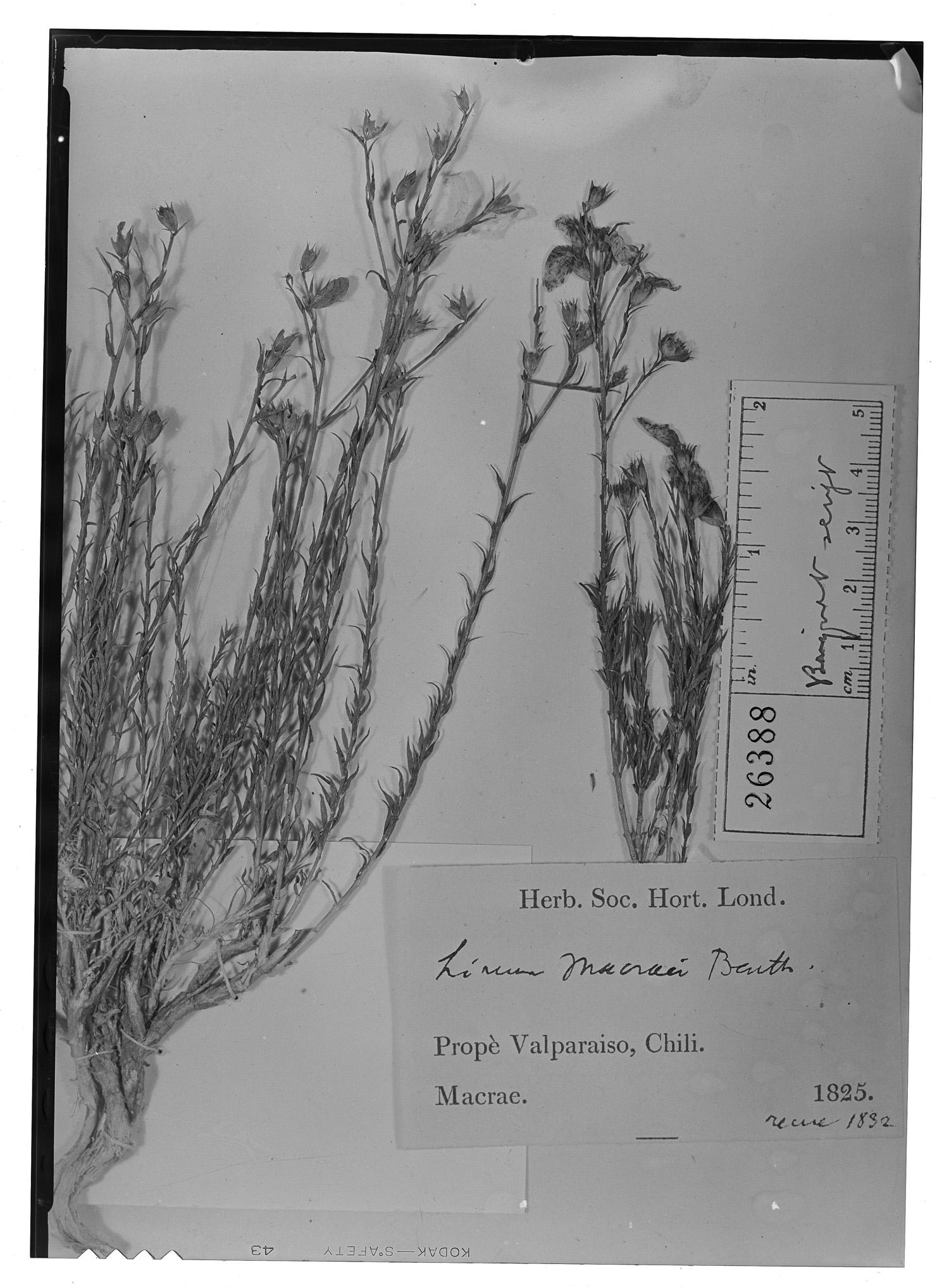 Linum macraei image