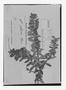 Field Museum photo negatives collection; Genève specimen of Arbutus pilosa Graham, Isotype, G