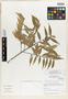 Helicostylis salicifolia C. C. Berg, Peru, I. M. Sánchez Vega 9456, Holotype, F