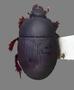 3041690_Margarinotus_kurdistanus_Dorsal_edit_IN