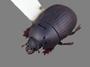 3041690_Margarinotus_kurdistanus_Oblique_IN_edit