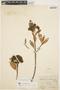 Aspidosperma nobile Müll. Arg., BRAZIL, A. F. M. Glaziou 20414, F