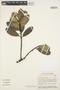Aspidosperma nobile Müll. Arg., BRAZIL, C. A. Cid Ferreira 6163, F