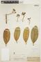 Aspidosperma nobile Müll. Arg., BRAZIL, O. Kuntze, F