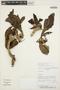 Aspidosperma tomentosum Mart., PARAGUAY, E. M. Zardini 43558, F