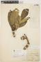 Aspidosperma tomentosum Mart., BRAZIL, P. C. D. Clausen 327, F