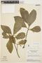 Aspidosperma tomentosum Mart., BRAZIL, H. S. Irwin 16437, F