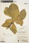Aspidosperma tomentosum Mart., BRAZIL, P. E. Gibbs 3361, F