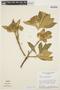 Aspidosperma tomentosum Mart., BRAZIL, H. S. Irwin 8361, F