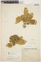 Aspidosperma tomentosum Mart., BRAZIL, H. L. de Mello Barreto 9957, F