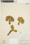 Aspidosperma tomentosum Mart., BRAZIL, H. S. Irwin 7873, F