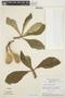 Aspidosperma tomentosum Mart., BRAZIL, H. S. Irwin 14795, F