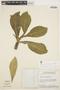 Aspidosperma tomentosum Mart., Brazil, H. S. Irwin 11927, F