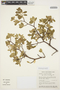 Aspidosperma tomentosum Mart., BRAZIL, R. M. Harley 26447, F