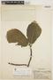 Aspidosperma tomentosum Mart., BRAZIL, Y. Mexía 5669, F