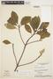 Aspidosperma tomentosum Mart., BRAZIL, H. S. Irwin 18303, F