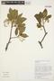Aspidosperma tomentosum Mart., BRAZIL, R. Marquete 1171, F