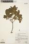 Aspidosperma tomentosum Mart., BRAZIL, D. Sucre B. 1553, F