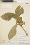 Aspidosperma tomentosum Mart., BRAZIL, H. S. Irwin 17505, F
