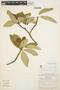 Aspidosperma tomentosum Mart., BRAZIL, W. R. Anderson 6225, F