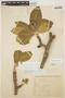 Aspidosperma tomentosum Mart., BRAZIL, H. L. de Mello Barreto 9213, F