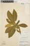 Aspidosperma tomentosum Mart., BRAZIL, H. S. Irwin 9907, F
