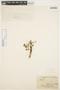 Aspidosperma tomentosum Mart., BRAZIL, A. Saint-Hilaire s.n., F