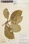 Aspidosperma tomentosum Mart., BRAZIL, H. S. Irwin 17354, F