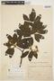 Aspidosperma tomentosum Mart., BRAZIL, H. L. de Mello Barreto 9222, F
