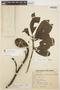 Aspidosperma tomentosum Mart., BRAZIL, H. L. de Mello Barreto 1393, F