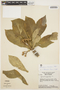 Aspidosperma tomentosum Mart., BRAZIL, H. S. Irwin 16191, F
