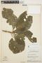 Aspidosperma tomentosum Mart., BRAZIL, H. S. Irwin 11880, F