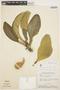 Aspidosperma tomentosum Mart., BRAZIL, H. S. Irwin 13702, F