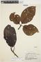 Couma macrocarpa Barb. Rodr., BRAZIL, C. W. Smith 12214, F