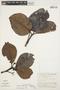 Couma macrocarpa Barb. Rodr., PERU, G. S. Hartshorn 1724, F