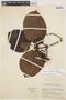 Couma macrocarpa Barb. Rodr., COLOMBIA, J. Cuatrecasas 21056, F