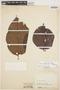 Couma macrocarpa Barb. Rodr., COLOMBIA, J. Cuatrecasas 16888A, F
