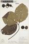 Couma macrocarpa Barb. Rodr., PERU, A. H. Gentry 21150, F