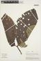 Couma macrocarpa Barb. Rodr., PERU, A. H. Gentry 21091, F