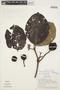 Couma macrocarpa Barb. Rodr., Peru, T. B. Croat 17662, F