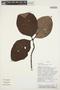 Couma macrocarpa Barb. Rodr., PERU, Rod. Vásquez 15017, F