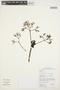 Couma macrocarpa Barb. Rodr., GUYANA, M. J. Jansen-Jacobs 5473, F