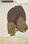 Couma macrocarpa Barb. Rodr., PERU, Ll. Williams 912, F
