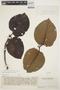 Couma macrocarpa Barb. Rodr., VENEZUELA, Ll. Williams 14569, F