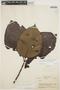 Couma macrocarpa Barb. Rodr., BRAZIL, B. A. Krukoff 1281, F
