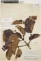 Couma macrocarpa Barb. Rodr., BRAZIL, B. A. Krukoff 7199, F