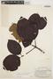 Couma macrocarpa Barb. Rodr., GUYANA, A. C. Smith 2579, F
